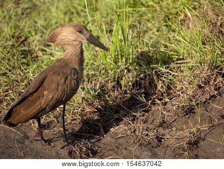 A hammerkop bird stands in mud looking right as it searches for food