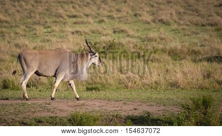 Large adult male eland walking right on grassy landscape in Kenya's Masai Mara