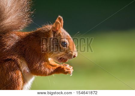 British native Red Squirrel with hazelnut on Brownsea Island Dorset.