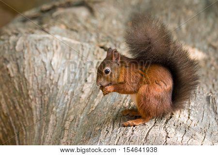 British native Red Squirrel on log on Brownsea Island Dorset.