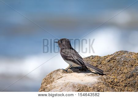 The Wild Black Phoebe Pearching On The Rock At Ventura Beach