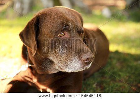 Dog Labrador Retriever.  Labrador Retriever is on the green grass.