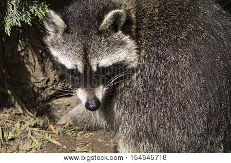 Closeup on a cute racoon in a Zoo