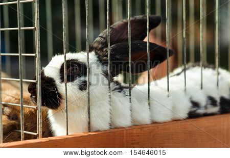 Rabbit in the cage. White rabbit with black ears.