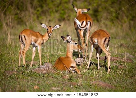 A family of impala with a mother and young, congregating in the grass of Kenya's Masai Mara
