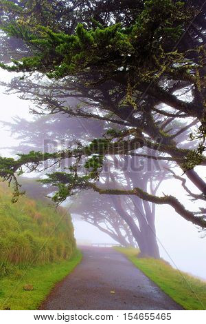 Cypress Tress surrounding a rural Northern California countryside road taken in the fog