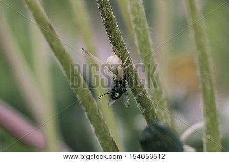 Predatory Flower spider. The female spider caught with a fly. Natural background.