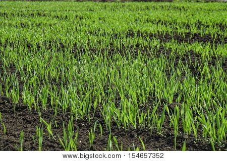 Young green shoots of grass on the oat field. Natural spring background. Photos with limited depth of field.