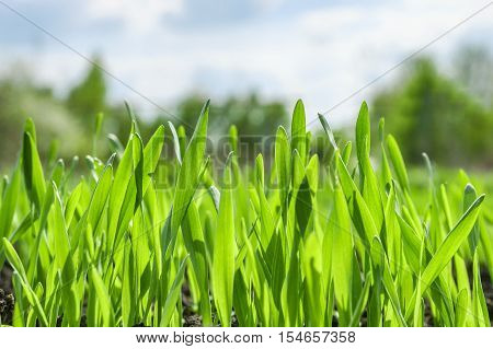 Young green grass background. Texture grass closeup. Green meadow.