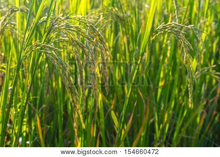Closed up ear of rice in rice farm in rural of Thailand.