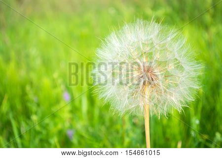 big bright fluffy dandelion on a green background, blowball