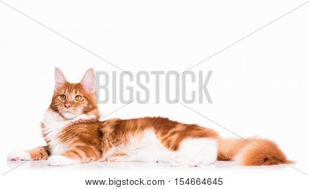 Portrait of domestic red Maine Coon kitten - 8 months old. Adorable cat lying down and looking away. Curious young orange striped kitty isolated on white background.