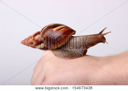 Achatina snail crawling on the hand on white background
