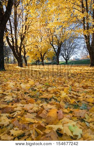 Hurst of autumn trees with their leafs fallen covers the whole floor beneath them.
