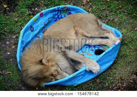 A lion sleeping in a plastic swimming pool