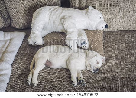 cuddly toy of polar bear and a white labrador puppy side by side