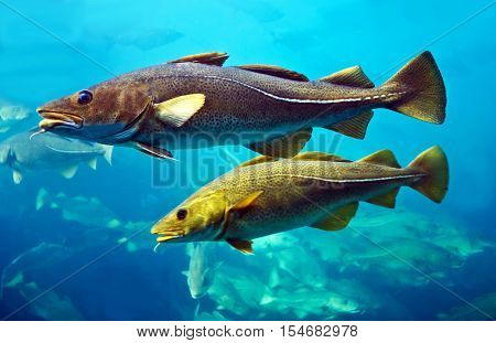 Cod fishes floating in aquarium, Alesund, Norway.
