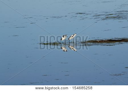 Beautiful reflection of two Avocets in Lake Neusiedl - austria