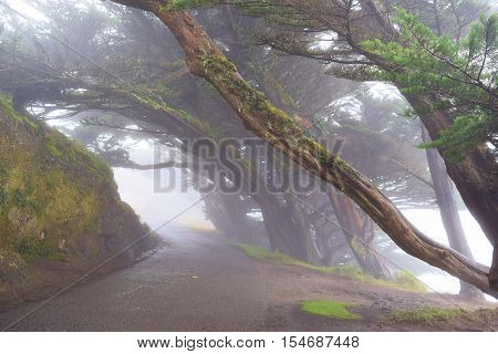 Wind swept Cypress Trees surrounding a road in the fog taken at Pt Reyes, CA