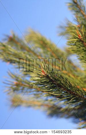 Pine cone on the pine tree branch