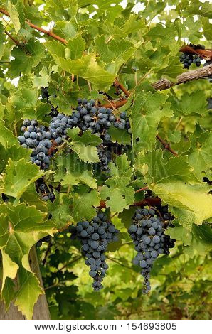 The ripe blue grapes on a wine stock in a wine yard in Ontario waiting for frost to become icewine.