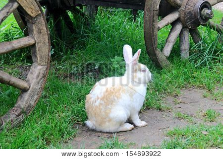 Rabbit on the path near the wooden cart