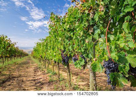 Vineyard Full Of Ripe Grapes In Tuscany