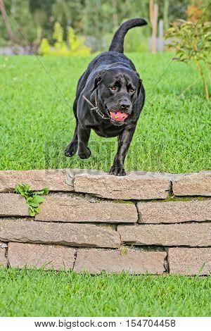 Black labrador- retriever running on the green in an autumn garden