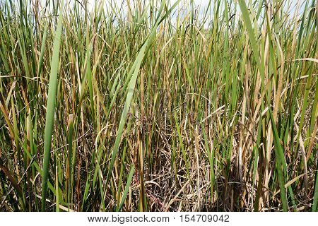Wetland with tall grass in water along river