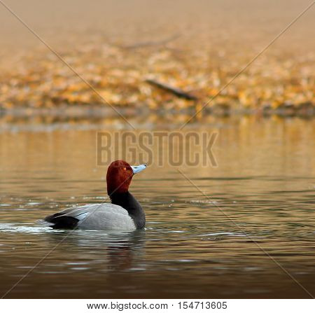 Male Redhead Duck (Aythya Americana) in the Water