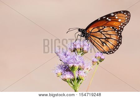 The Soldier or Tropical Queen butterfly (Danaus eresimus) feeding on Greggs Mistflowers (Conoclinium greggii) in the autumn garden. Copy space.
