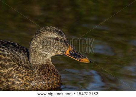 male mallard duck on the water Burnaby Canada
