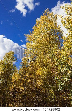 Beautiful fall colors! Golden Aspen leaves changing color in the Rocky Mountains with a gorgeous cloudy blue fall sky.