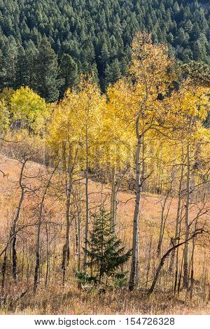Beautiful fall colors! Aspen trees changing color in the Rocky Mountains surrounding a small pine tree.