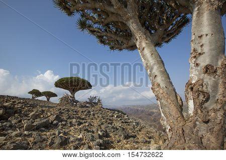 Dragon Blood Tree, Dracaena Cinnabari