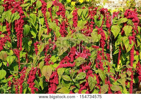 A beautiful flower Amaranthus Caudatus also known as Love lies bleeding