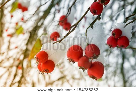 On the branches of the bushes of hawthorn berries hang ripe red berries covered with first snow fell.