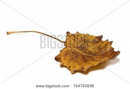 Autumn Dried Quaking Aspen (populus Tremula) Leaf