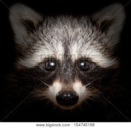 Portrait of a cunning raccoon closeup on a black background