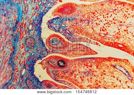 cells biology: scientific research; plant tissue molecules magnification. Science background- ovary and ovule. Microscopic- micrograph of a plants cell. Photo micro sections with light microscope