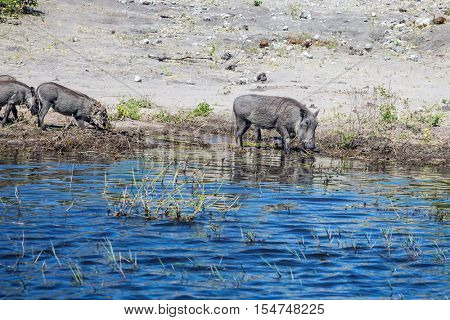 Watering large animals in the Okavango Delta. The herd of warthogs. The concept of exotic and extreme tourism in Africa. Chobe National Park in Botswana