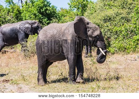 Herd of African elephants at the watering. The concept of exotic and active tourism. River Okavango, shore. Botswana, Chobe National Park