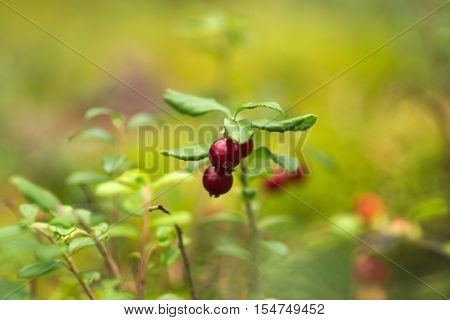 The photo shows shrub lingonberry during fruiting. The branches are red, ripe fruit. Bush is in its natural habitat in the forest.