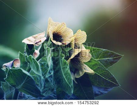 Black Henbane Hyoscyamus niger flowers. Vintage toned image.