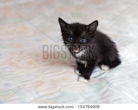 The beautiful little black kitten mewing on the bed
