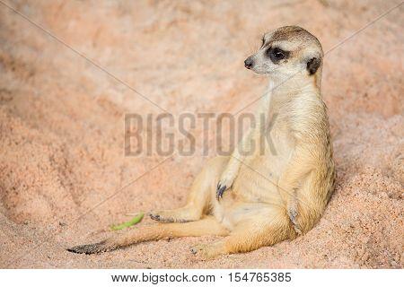 portrait Meerkat  in the big open zoo