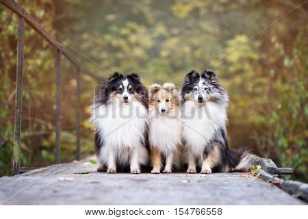 three sheltie dogs posing outdoors in autumn