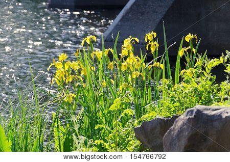 iris pseudacorus - yellow flag - yellow iris - water flag.