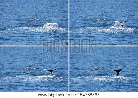 Two Humpback whales Montage in Hervey Bay