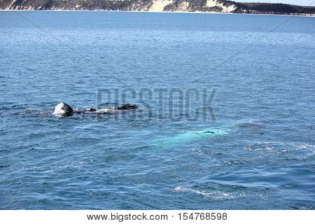 Humpback Whale Female with Calf Hervey Bay Australia